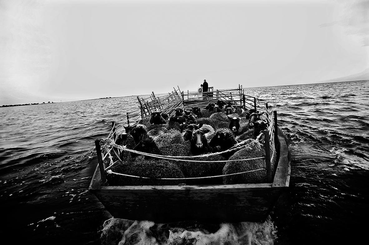 Georg Thomsson transporterar lamm till Ytterholmen.jpg